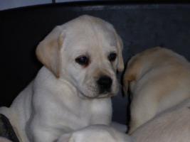 Foto 60 Labradorwelpen in blond