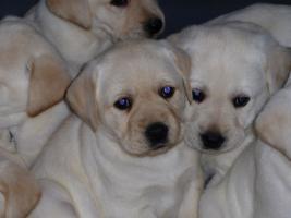 Foto 61 Labradorwelpen in blond