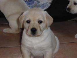Foto 63 Labradorwelpen in blond