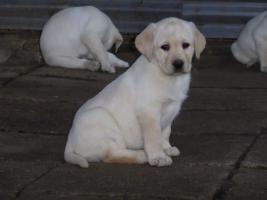 Foto 76 Labradorwelpen in blond