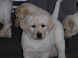 Foto 78 Labradorwelpen in blond