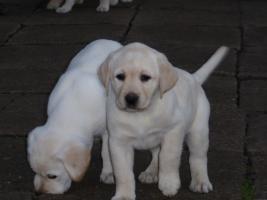 Foto 79 Labradorwelpen in blond