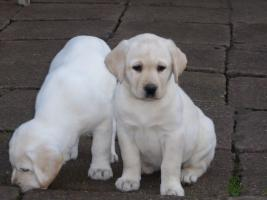 Foto 80 Labradorwelpen in blond