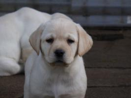 Foto 81 Labradorwelpen in blond