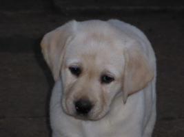 Foto 82 Labradorwelpen in blond