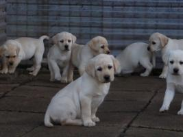 Foto 83 Labradorwelpen in blond