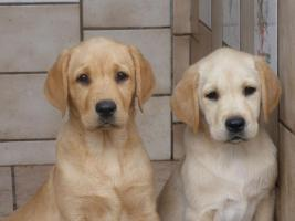 Labradorwelpen in blond