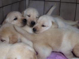 Foto 2 Labradorwelpen in blond