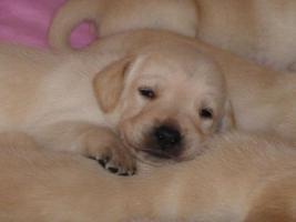 Foto 8 Labradorwelpen in blond