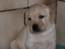 Foto 3 Labradorwelpen in blond