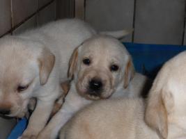 Foto 7 Labradorwelpen in blond