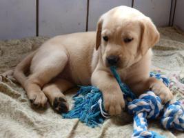 Foto 22 Labradorwelpen in blond