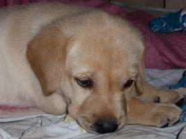 Foto 24 Labradorwelpen in blond