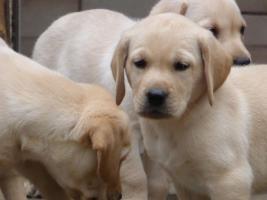 Foto 26 Labradorwelpen in blond