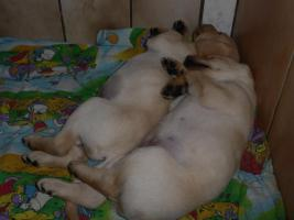 Foto 29 Labradorwelpen in blond
