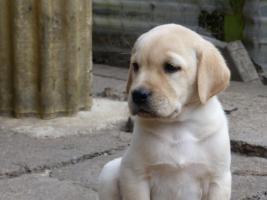 Foto 32 Labradorwelpen in blond