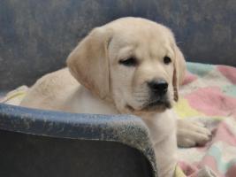 Foto 33 Labradorwelpen in blond