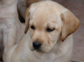 Foto 38 Labradorwelpen in blond