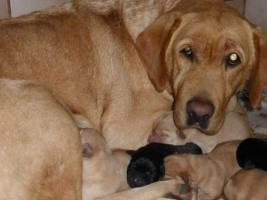 Labradorwelpen in blond und schwarz
