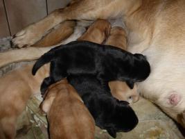 Foto 3 Labradorwelpen in blond und schwarz