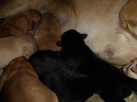 Foto 4 Labradorwelpen in blond und schwarz