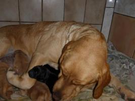 Foto 7 Labradorwelpen in blond und schwarz