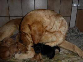 Foto 8 Labradorwelpen in blond und schwarz