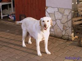 Foto 4 Labradorwelpen blond, schwarz ab 490 Euro
