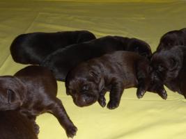 Foto 4 Labradorwelpen in braun