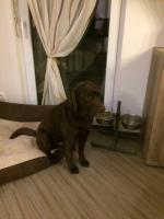 Foto 6 Labradorwelpen reinrassig