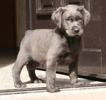 Labradorwelpen in silber und charcoal ab Anfang März abzugeben!