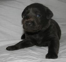 Foto 3 Labradorwelpen in silber und charcoal ab Anfang März abzugeben!