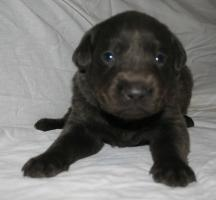 Foto 4 Labradorwelpen in silber und charcoal ab Anfang März abzugeben!
