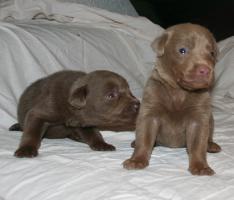 Foto 6 Labradorwelpen in silber und charcoal ab Anfang März abzugeben!