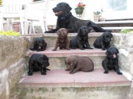 Labradorwelpen suchen neues Zuhause