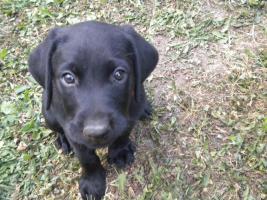 Foto 2 Labradorwelpen zu verkaufen