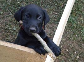 Foto 3 Labradorwelpen zu verkaufen