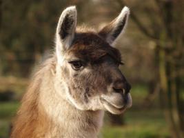 Lama - u. Esel -Wanderungen -> tolles Weihnachtsgeschenk