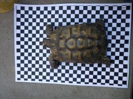 Foto 2 Landschildkröte
