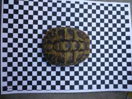 Foto 3 Landschildkröte