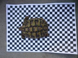 Foto 4 Landschildkröte