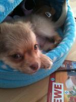 Langhaar-Chihuahua-Welpe sucht liebevolles zu Hause. :-)