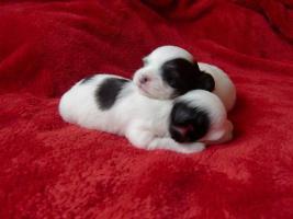 ***Langhaar Chihuahua Welpen suchen ein liebevolles Zuhause***
