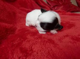 Foto 4 ***Langhaar Chihuahua Welpen suchen ein liebevolles Zuhause***