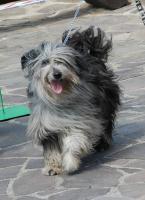 Langhaariger Pyrenäenschäferhund - Berger des pyreneés a poil long