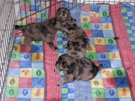 Foto 3 Langhaariger Pyrenäenschäferhund - Berger des pyreneés a poil long