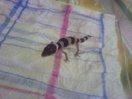 Foto 3 !!Leopardgecko Nachzuchten 2010 Abzugeben!!