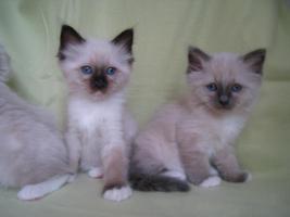 Foto 4 Liebe heilige Birma Kitten, Katze