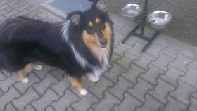 Lieber Collie Rüde, Junghund 12 Monate alt