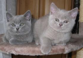 Liebevolle BKH Kitten